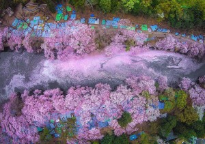 spring-japan-cherry-blossoms-national-geographics-110