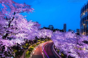spring-japan-cherry-blossoms-national-geographics-91